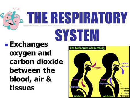 THE RESPIRATORY SYSTEM Exchanges oxygen and carbon dioxide between the blood, air & tissues.