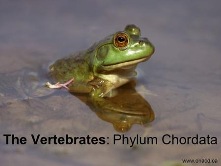 The Vertebrates: Phylum Chordata www.onacd.ca. Major Classes of Vertebrates Above: Class Amphibia: Includes all amphibians (frogs, toads, salamanders)