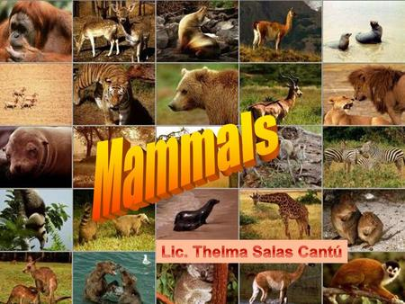 What is a mammal? Mammals are animals that use lungs to breathe air, produce milk, are warm- blooded, vertebrates and are covered in hair.animalsair milk.