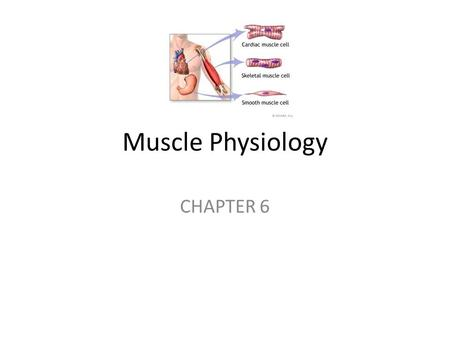 Muscle Physiology CHAPTER 6. Flashcard Warm-up Three Types of Muscle Tissue (Use your book to describe each type and their location) Skeletal- Cardiac-