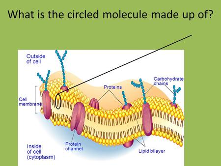 Outside of cell Inside of cell (cytoplasm) Cell membrane Proteins Protein channel Lipid bilayer Carbohydrate chains What is the circled molecule made up.
