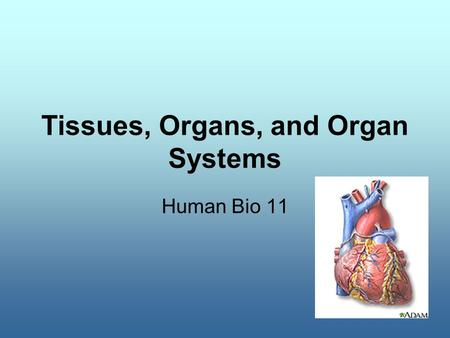 Tissues, Organs, and Organ Systems Human Bio 11. Body Organization Organelle Cell Tissue Organ Organ System Organism.
