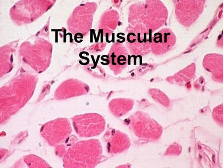 The Muscular System. Function of the muscular system Provides movement in conjunction with the skeletal system Important in life support Used by humans.