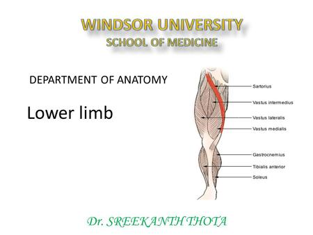 Dr. SREEKANTH THOTA DEPARTMENT OF ANATOMY Lower limb.