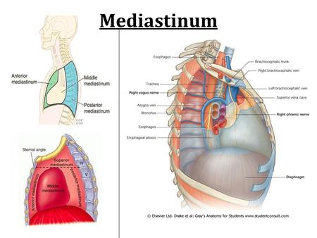 Mediastinum. Pericardium Chambers of The Heart Pathway of Blood Through the Heart  Deoxygenated blood from the body returns to via the vena cava and.