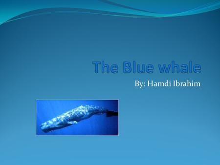 By: Hamdi Ibrahim. Blue whales is largest creature in the world. They reach in an around 100 feet in length and weigh around 200 tons, their tongue alone.
