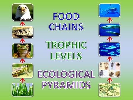The ____ is the ______________ for food chains. is a sequence of feeding relationships describing ______ ___________________. source of energy Food Chain: