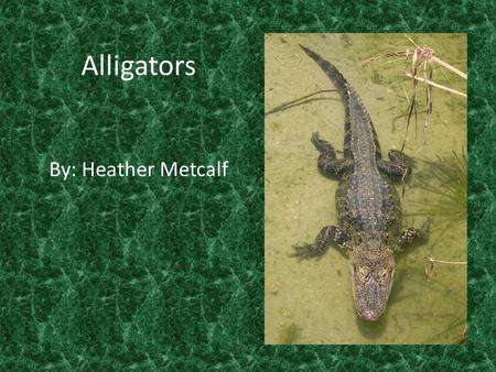 Alligators By: Heather Metcalf. Alligators are reptiles.