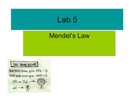 Lab 5 Mendel's Law. Gregor Johann Mendel (1822– 1884 ) Mendel demonstrated that the inheritance of certain traits in pea plants follows particular patterns,