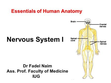 Essentials of Human Anatomy Dr Fadel Naim Ass. Prof. Faculty of Medicine IUG Nervous System I.