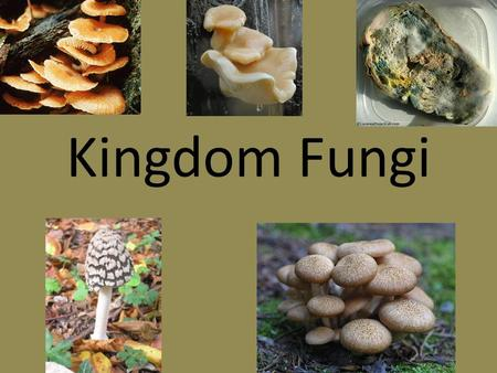 Kingdom Fungi. What are Fungi? Fungi are NOT PLANTS Study of fungi = mycology Defined as a – single or multi-celled eukaryote with heterotrophic, absorptive.
