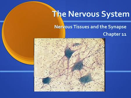 The Nervous System Nervous Tissues and the Synapse Chapter 11.