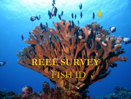 FISH ID REEF SURVEY. Angel Fish Centropyge potteri.