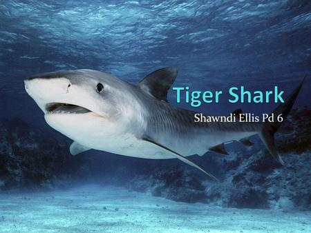 Tiger Shark Shawndi Ellis Pd 6.