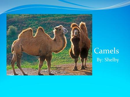 Camels By: Shelby Scientist believe that the ancestors of the modern camel lived in North America about 40 million years ago. All camels are alike with.
