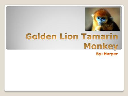 Diet Golden Lion Tamarin Monkeys eat oranges, bananas, meat, insects, like Spiders, small vertebrates, birds eggs, and nectar.