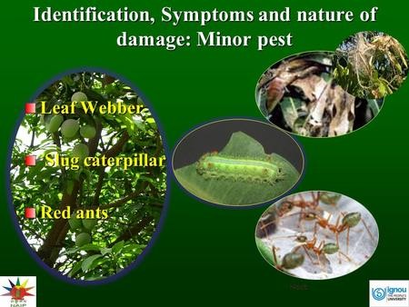 Identification, Symptoms and nature of damage: Minor pest