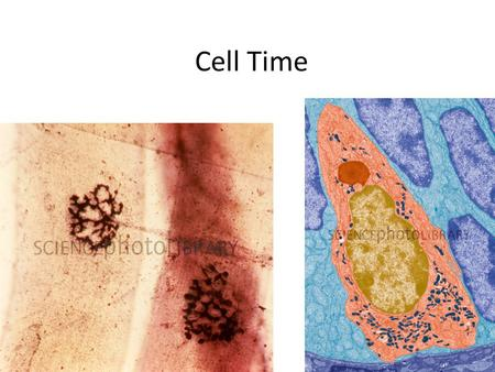 Cell Time 9/17 Outline Quick History Quick Microscopy Organelle Overview –focus on protein production today HW: Read and outline Chapter 4 HW: Bozeman.