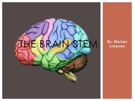 "By: Marian Liwanen THE BRAIN STEM.  The brainstem connects the cerebrum with the spinal cord.  It is sometimes called ""the reptilian brain"" and is the."