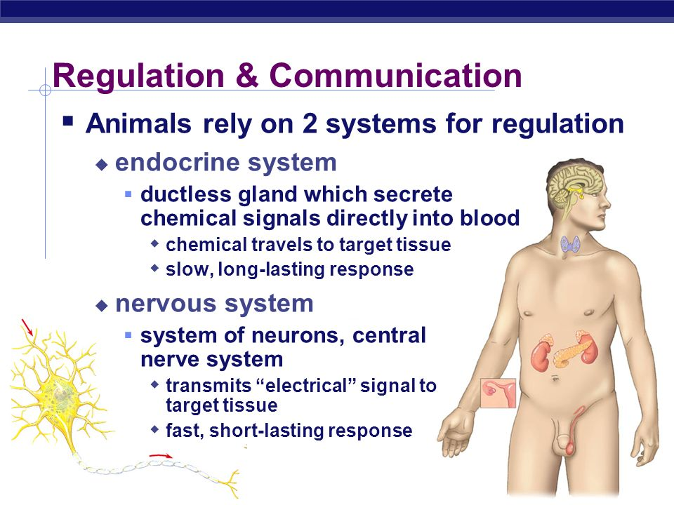 AP Biology 2004-2005 Regulation by chemical messengers Axon Neurotransmitter Endocrine gland Receptor proteins Hormone carried by blood Target cell Neurotransmitters released by neurons Hormones release by endocrine glands