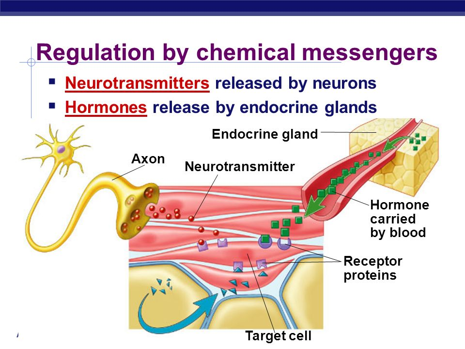 AP Biology 2004-2005 Classes of Hormones Protein-based hormones polypeptides small proteins: insulin, ADH glycoproteins large proteins + carbohydrate: FSH, LH amines modified amino acids: epinephrine, melatonin Lipid-based hormones steroids modified cholesterol: sex hormones, aldosterone