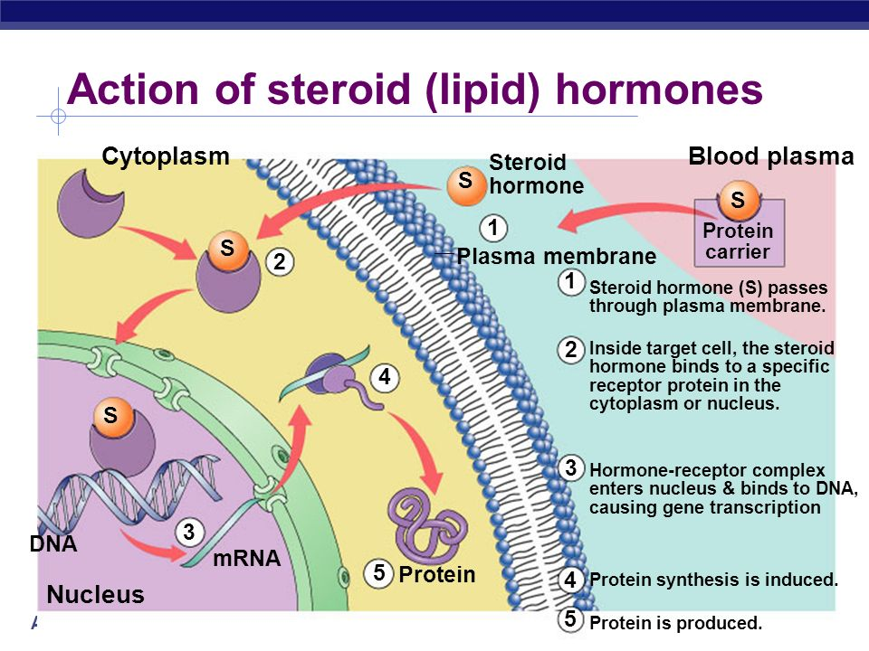 AP Biology 2004-2005 How do hormones act on target cells Signal molecule Cell surface receptor enzyme G protein cAMP Target protein Nucleus Cytoplasm ATP Protein-based hormones hydrophilic & not lipid soluble cant diffuse across membrane trigger secondary (2°) messenger pathway transmit signal across membrane signal transduction usually activates a series of 2° messengers multi-step cascade activate cellular response enzyme action, uptake or secretion of molecules, etc.