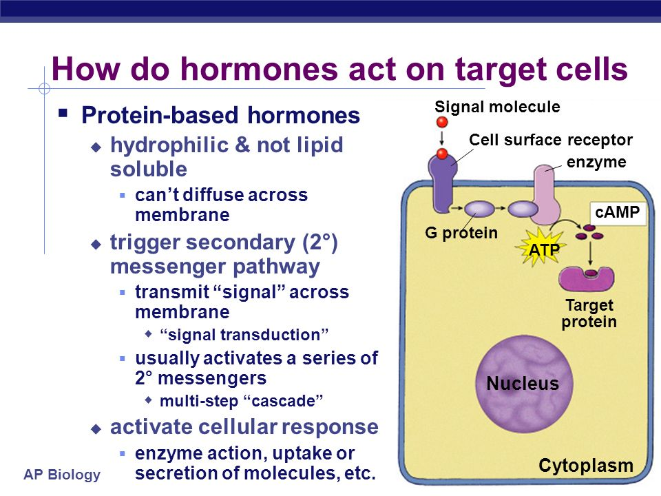 AP Biology 2004-2005 Action of protein hormones 3 4 GTP activates enzyme activates enzyme activates enzyme Receptor protein cAMP Protein hormone ATP 1 2 Cytoplasm Produces an action protein messenger cascade G protein