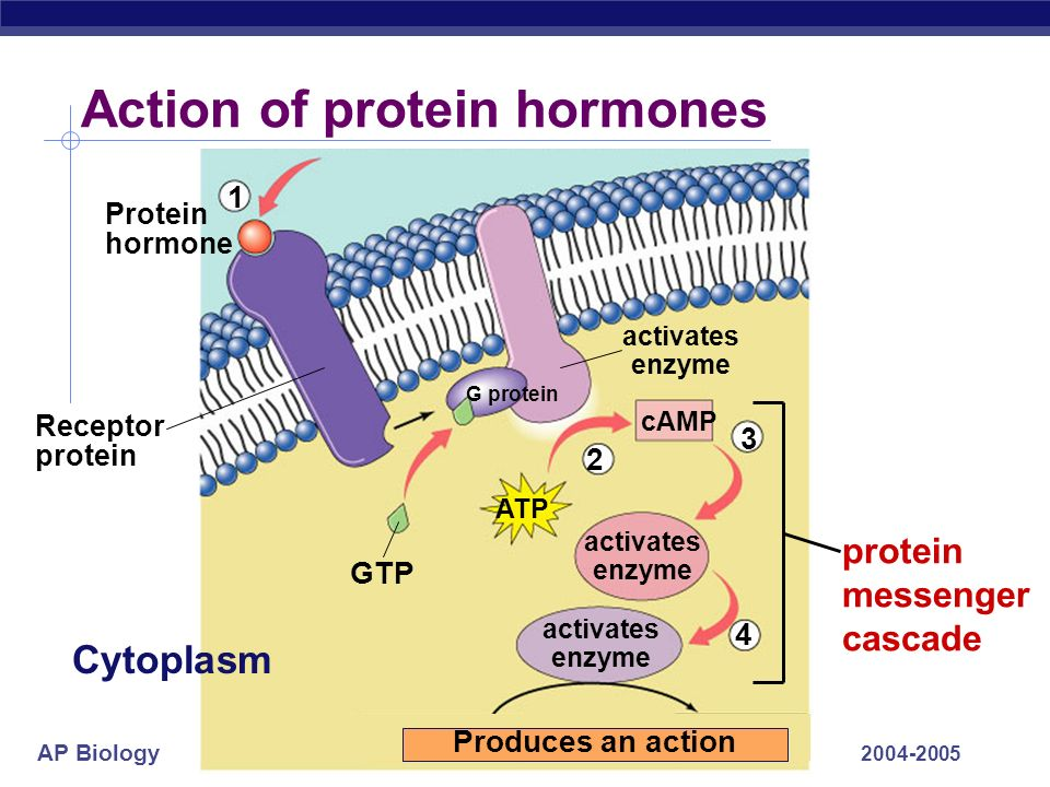 AP Biology 2004-2005 adrenal gland Action of epinephrine (adrenalin) 3 4 GTP activates protein kinase-A activates phosphorylase activates adenylyl cyclase Receptor protein cAMP Epinephrine ATP 1 2 Cytoplasm G protein Liver cell Glucose Glycogen released to blood