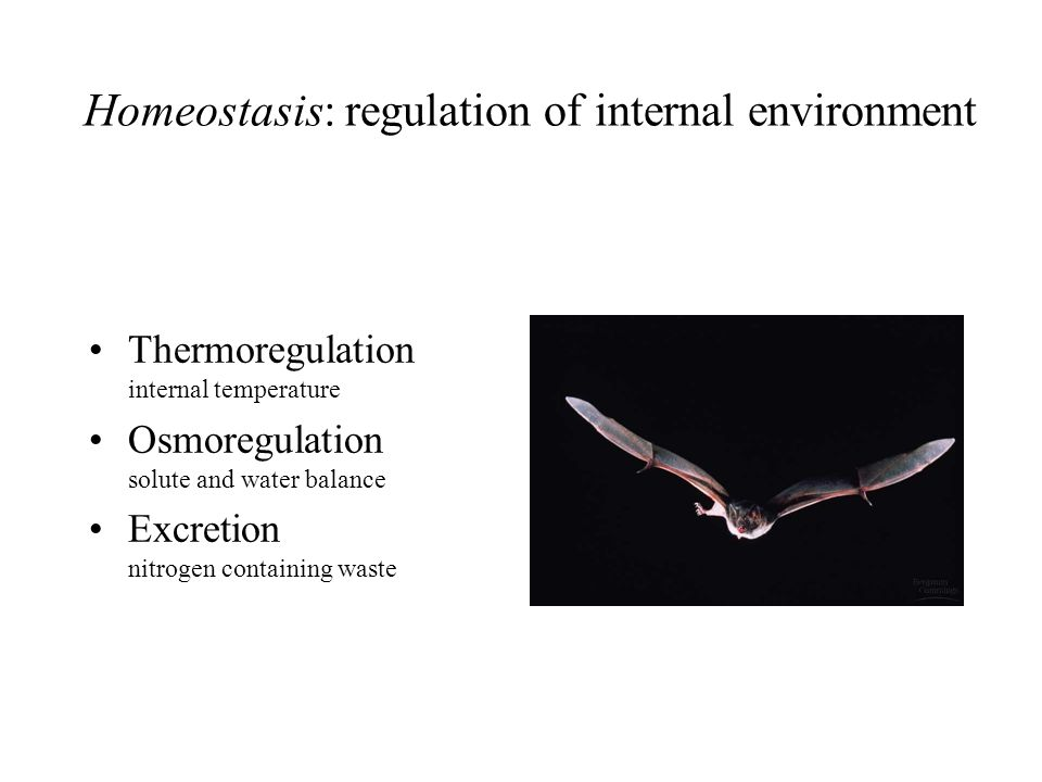 Regulation of body temperature Thermoregulation 4 physical processes: Conduction~transfer of heat between molecules of body and environment Convection~transfer of heat as water/air move across body surface Radiation~transfer of heat produced by organisms Evaporation~loss of heat from liquid to gas Sources of body heat: Ectothermic: determined by environment Endothermic: high metabolic rate generates high body heat