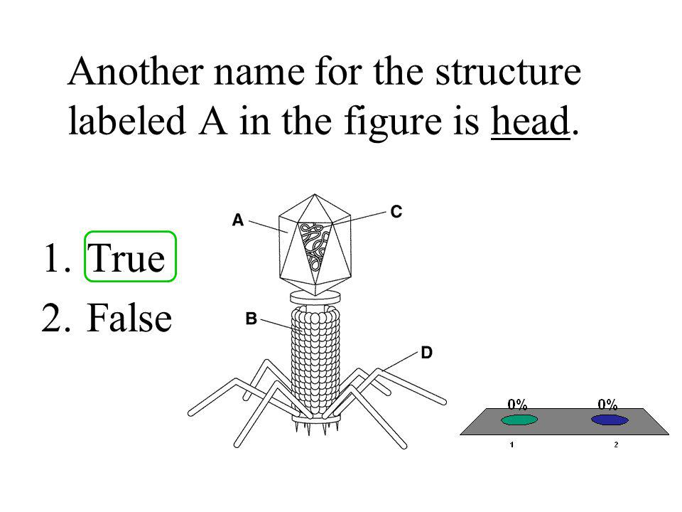 The structure labeled A in the figure helps attach this virus to a host cell during a lytic infection.