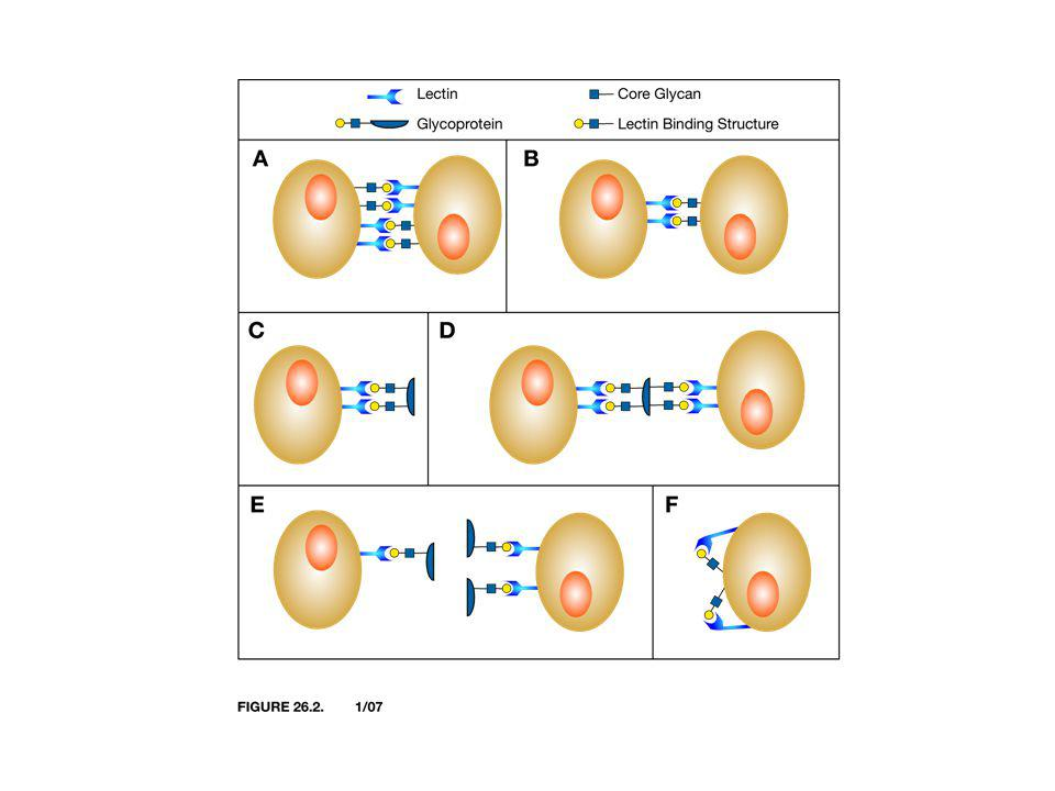 Two Classes of GBPs - Lectins and GAG Binding Proteins