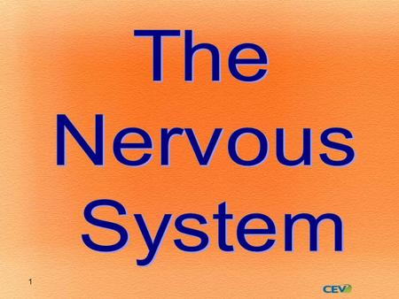 1. 2 Nervous System (NS) Peripheral NS Autonomic NS Somatic NS Central NS BrainSpinal Cord.
