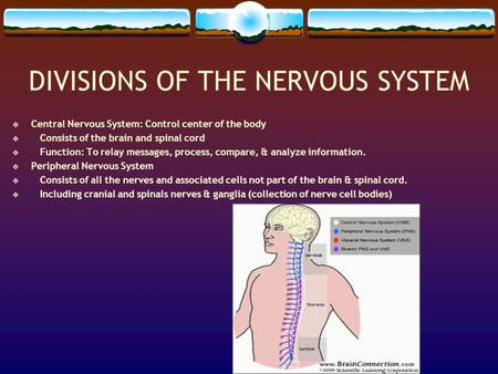 DIVISIONS OF THE NERVOUS SYSTEM  Central Nervous System: Control center of the body  Consists of the brain and spinal cord  Function: To relay messages,