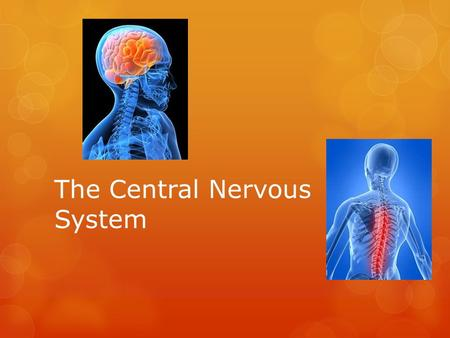 The Central Nervous System. The Nervous System  The Central Nervous System consists of the brain and the spinal cord  Nerves branching off the brain.
