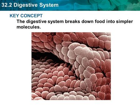Several digestive organs work together to break down food.