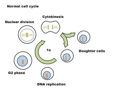 Normal cell cycle DNA replication Doughter cells G2 phase Nuclear division Cytokinesis 1x.