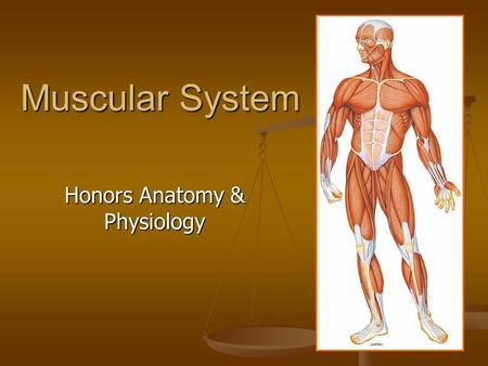 Muscular System Honors Anatomy & Physiology. Skeletal, Smooth, or Cardiac? SKELETAL Striated Voluntary Multinucleated Bound to bones to move skeleton.