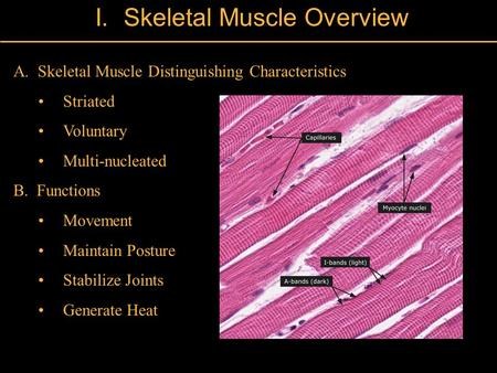 II. Skeletal Muscle Overview A. Skeletal Muscle Distinguishing Characteristics Striated Voluntary Multi-nucleated B. Functions Movement Maintain Posture.