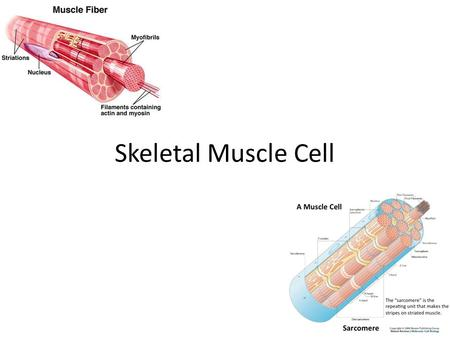 Skeletal Muscle Cell. Where their possible locations in the body and why? Skeletal muscle is bounded with the bone at least 2 pieces and pass through.