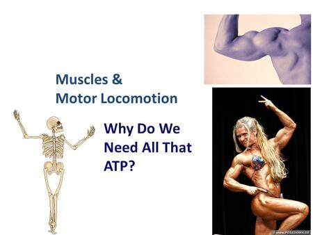 2006-2007 Muscles & Motor Locomotion Why Do We Need All That ATP?