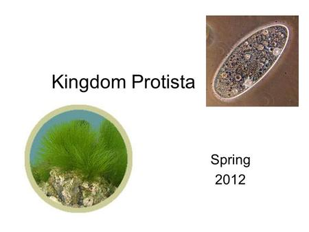Kingdom Protista Spring 2012. Kingdom Characteristics Domain: Eukarya, so they are Eukaryotes Unicellular or Multicellular Autotrophic or Heterotrophic.