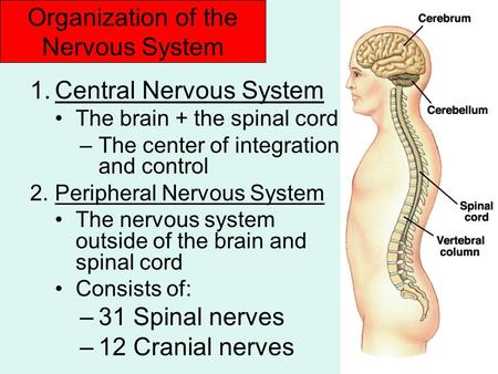 Organization of the Nervous System 1.Central Nervous System The brain + the spinal cord –The center of integration and control 2.Peripheral Nervous System.