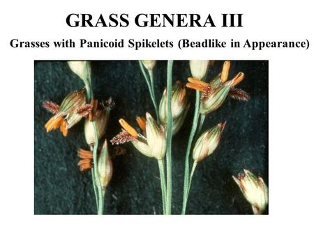 GRASS GENERA III Grasses with Panicoid Spikelets (Beadlike in Appearance)