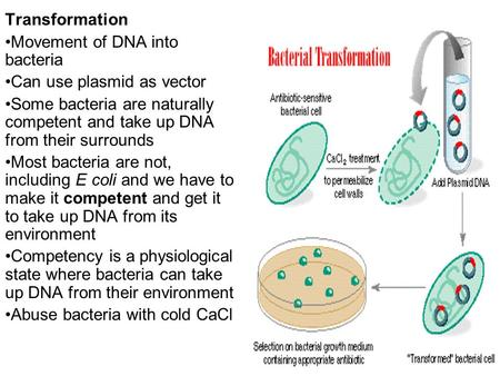 Transformation Movement of DNA into bacteria Can use plasmid as vector Some bacteria are naturally competent and take up DNA from their surrounds Most.