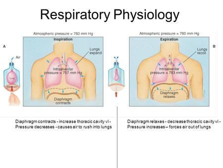 Respiratory Physiology Diaphragm contracts - increase thoracic cavity vl - Pressure decreases - causes air to rush into lungs Diaphragm relaxes - decrease.