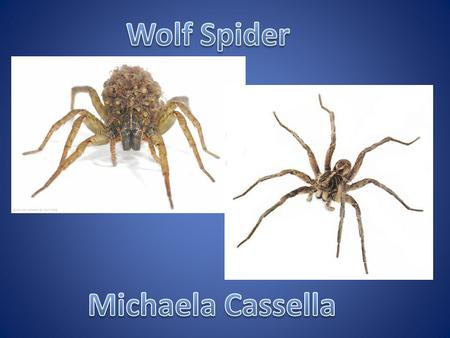 Wolf spiders are members of the family Lycosidae, in the spider order Araneae, in the class Arachnida. There are about 125 species that are found in the.