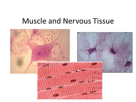 Muscle and Nervous Tissue. Muscle Tissue Muscle Tissue: – Associated with the bones of the skeleton, the heart and in the walls of the hollow organs of.