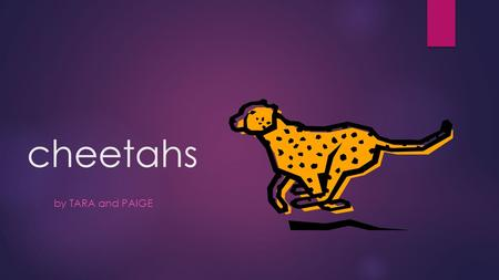 Cheetahs by TARA and PAIGE. Contents  How long they live ?  How far they can run ?  Where they live ?  What they eat ?  Are they becoming extinct.