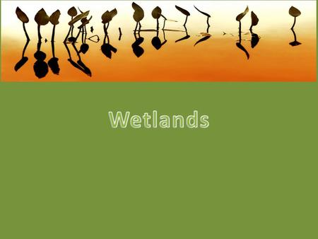 The weather is rainy and wet in the Wetlands. The wetland looks like a swamp. It is green and mossy. There are plants called bulrush.