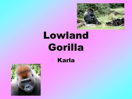 Lowland Gorilla Karla. Habitat Live in Central Africa Some live in tropical lowland rain forests Could live in 90 degrees Fahrenheit.